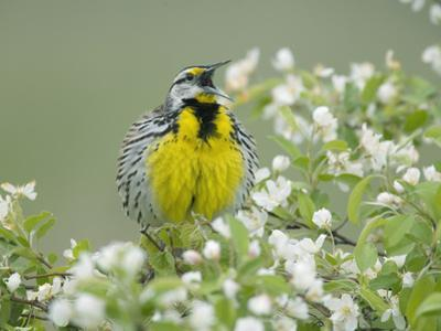 Eastern Meadowlark (Sturnella Magna) Singing by Steve Maslowski