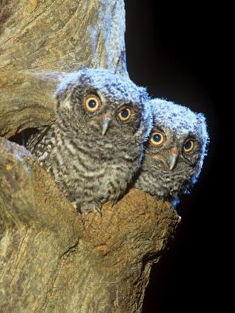 Eastern Screech Owl Young or Owlets in a Tree Hollow (Otus Asio), Eastern North America by Steve Maslowski