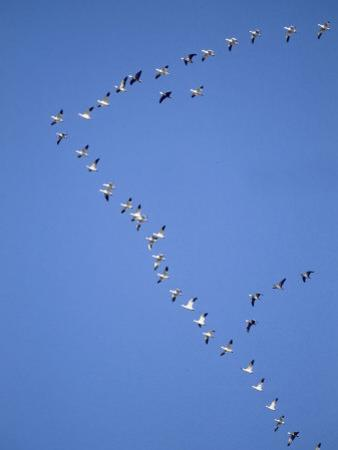 Flock of Snow Goose in Formation by Steve Maslowski