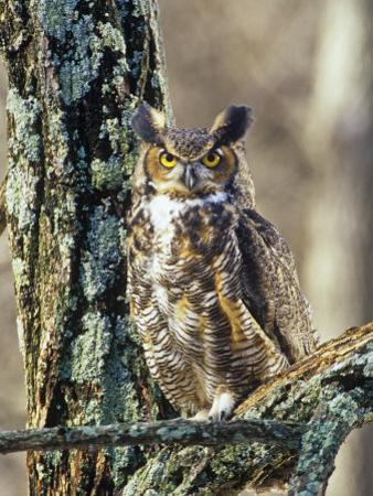 Great Horned Owl (Bubo Virginianus), North America by Steve Maslowski