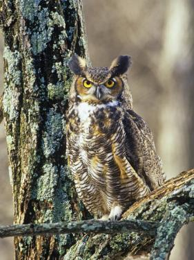 Great Horned Owl (Bubo Virginianus), North America by Steve Maslowski