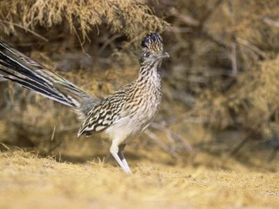 Greater Roadrunner (Geococcyx Californianus), New Mexico, USA