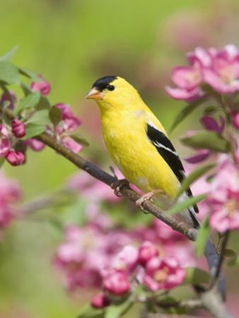 Male American Goldfinch (Carduelis Tristis) in Crabapple Blossoms by Steve Maslowski