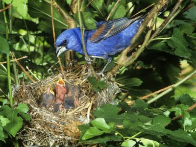 Male Blue Grosbeak (Guiraca Caerulea) at its Nest, Kentucky, USA by Steve Maslowski