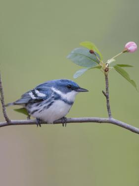 Male Cerulean Warbler (Dendroica Cerulea) Perched on a Branch by Steve Maslowski