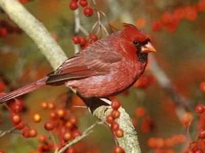 Male Northern Cardinal (Cardinalis Cardinalis) in a Hawthorn Tree (Crateagus), North America by Steve Maslowski