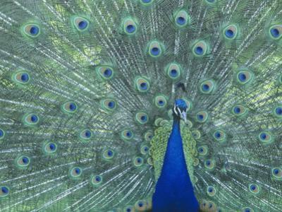 Male Peacock Courtship Display (Pavo Cristatus) by Steve Maslowski