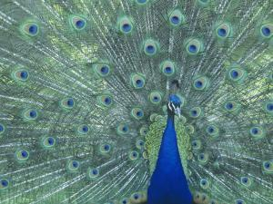 Male Peacock Courtship Display (Pavo Cristatus) by Steve Maslowski