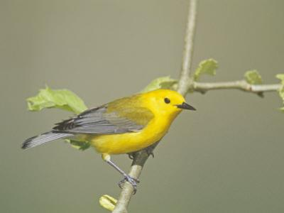 Male Prothonotary Warbler (Protonotaria Citrae). Eastern USA
