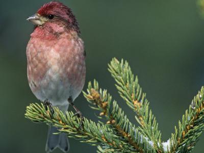 Male Purple Finch (Carpodacus Purpureus), the State Bird of New Hampshire, USA by Steve Maslowski