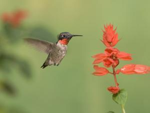 Male Ruby-Throated Hummingbird (Archilochus Colubris) at Salvia by Steve Maslowski