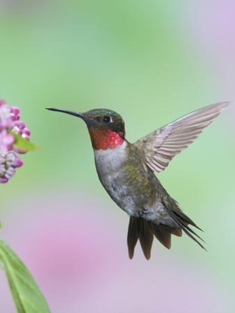 Male Ruby-Throated Hummingbird (Archilochus Colubris) at Swamp Milkweed by Steve Maslowski