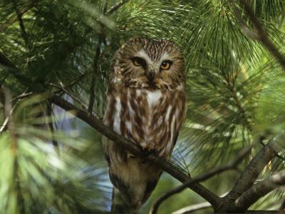 Northern Saw-Whet Owl (Aegolius Acadius) in a White Pine (Pinus Strobus), North America by Steve Maslowski