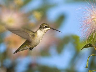 Ruby-Throated Hummingbird (Archilochus Colubris) at Mimosa