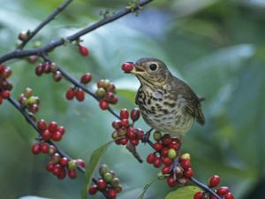 Swainson's Thrush (Catharus Ustulatus) Eating a Spicebush Berry, North America by Steve Maslowski