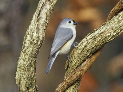 Tufted Titmouse (Baeolophus Bicolor), Eastern North America