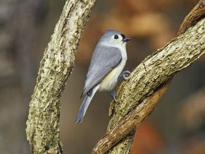 Tufted Titmouse (Baeolophus Bicolor), Eastern North America by Steve Maslowski