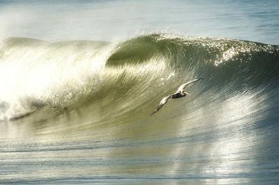 Surfing Pelican by Steve Munch