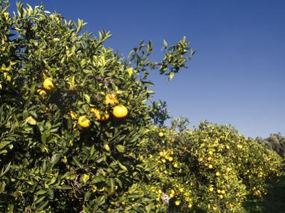 Orange Trees, Crete, Greece by Steve Outram