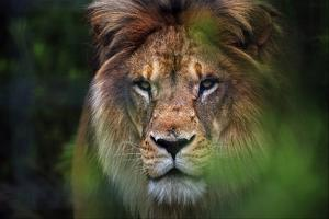 Portrait of a Lion Furrowing His Mane in a Forest at a Sanctuary for Big Cats by Steve Raymer