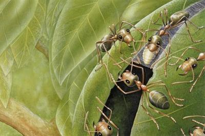 Weaver Ants (Oecophylla Sp), Formicidae by Steve Roberts