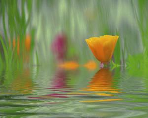 California Poppies by Steve Satushek