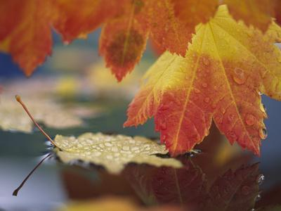 Close-up of Autumn Vine Maple Leaves Reflecting in Pool of Water, Bellingham, Washington, USA