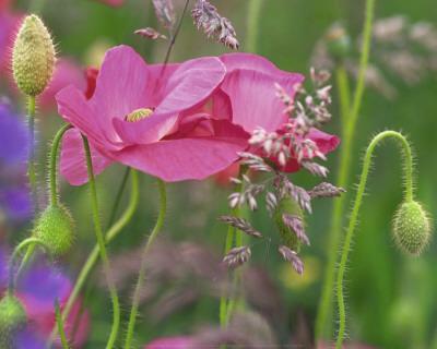 Shirley Poppies
