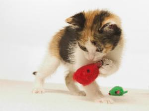 Multicolored Kitten Playing with Toy by Steve Starr