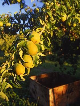 Anjou Pears on Tree Branch by Steve Terrill