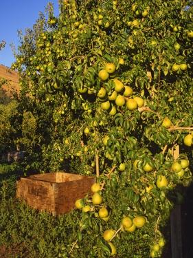Anjou Pears by Steve Terrill