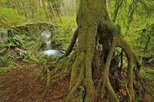 Cedar Tree with Exposed Roots by Steve Terrill
