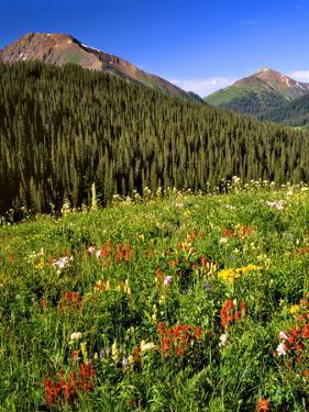 Colorado, Maroon Bells-Snowmass Wilderness. Wildflowers in Meadow by Steve Terrill