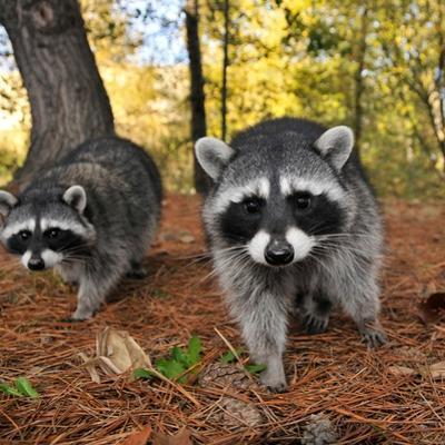 Curious Raccoons by Steve Terrill