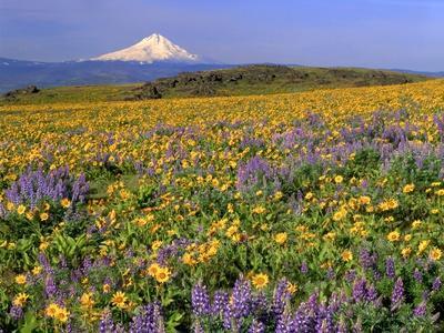 Mt. Hood with Wildflowers