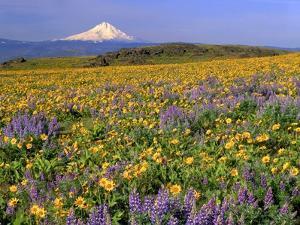 Mt. Hood with Wildflowers by Steve Terrill