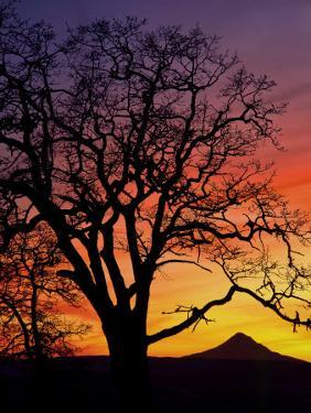 Oak Tree Framing Mt. Hood at Sunset, Columbia River Gorge National Scenic Area, Oregon, USA by Steve Terrill