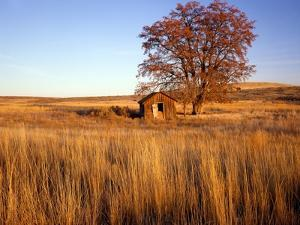 Shed and Locust Tree in Evening Light by Steve Terrill