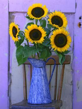Sunflowers Displayed in Enamelware Pitcher, Willamette Valley, Oregon, USA by Steve Terrill