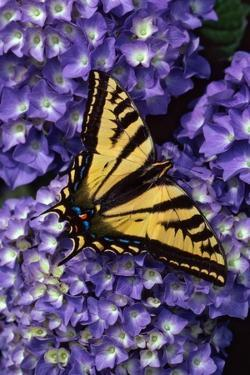 Tiger Swallowtail Butterfly by Steve Terrill