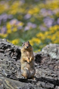 USA, Montana, Glacier NP. Columbia Ground Squirrel Close-up by Steve Terrill