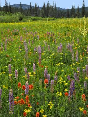 USA, Oregon, Mount Hood NF. Wildflowers in Summit Meadow by Steve Terrill