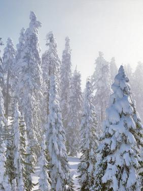 USA, Oregon, Mt Ashland. Fresh Snow on Evergreens by Steve Terrill