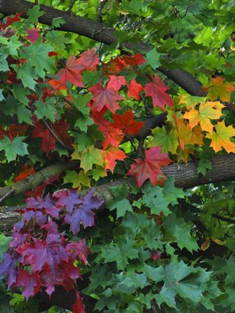 USA, Oregon, Portland. Sugar Maple Tree Scenic by Steve Terrill