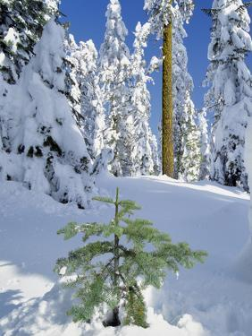 USA, Oregon, Rogue River NF. Scenic of New Snow on Forest by Steve Terrill