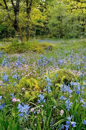 USA, Oregon, West Linn. Wildflowers in Camassia Natural Area