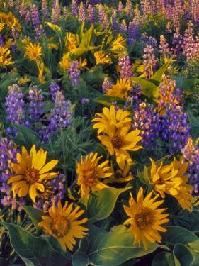 USA, Washington. Balsamroot and Lupine in Evening Light by Steve Terrill