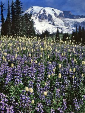 USA, Washington State, Paradise Park. Field of Lupine and Bistort by Steve Terrill