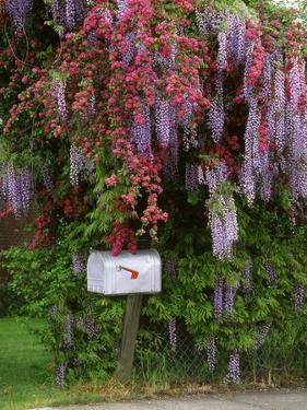 Wisteria Blooms & Hawthorn Tree Blossoms by Steve Terrill