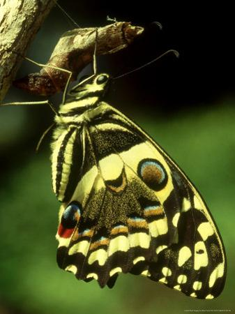 Citrus Swallowtail, New, C.Kenya